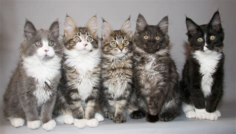 Kitten Mainecoon maine coon kittens