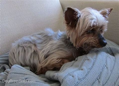light brown teacup yorkie terrier breed pictures yorkie page 1