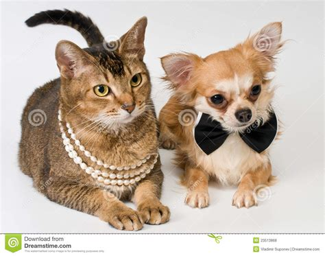 and cats cat and chihuahua in studio royalty free stock photos image 23513868