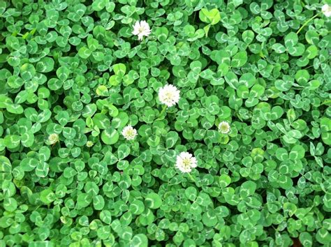 Where We Can Buy Carpet On Nj 07712 - clover 1 lb seed lawn groundcover seeds low growing