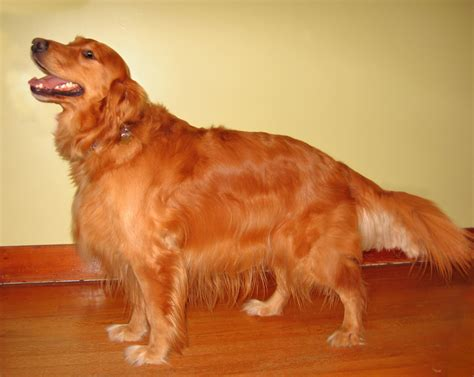 pics of golden retriever golden retriever golden retriever pic