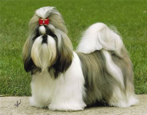 shih tzu puppies ta shih tzu sale singapore shih tzu puppies buy buy shih tzu breeders shih tzu dogs