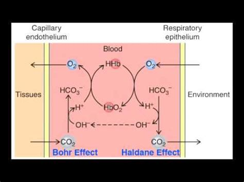 bohr effect diagram haldane