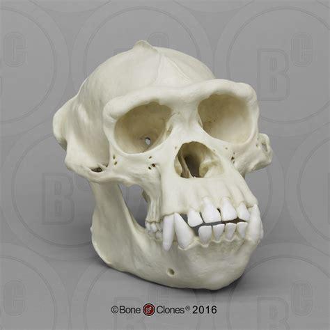set   primate skulls bone clones  osteological