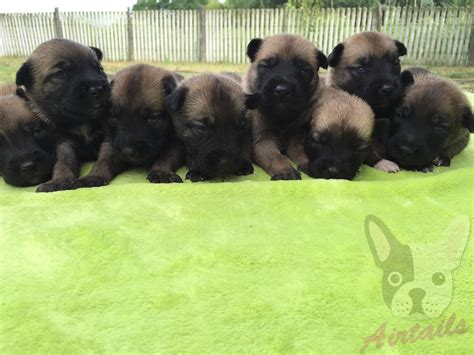 belgian malinois puppies for sale in belgian malinois puppy for sale airtails