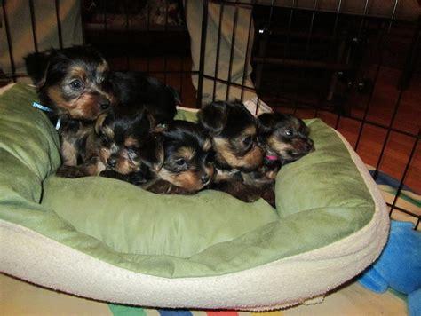 free puppies evansville in yorkie puppies in evansville in home