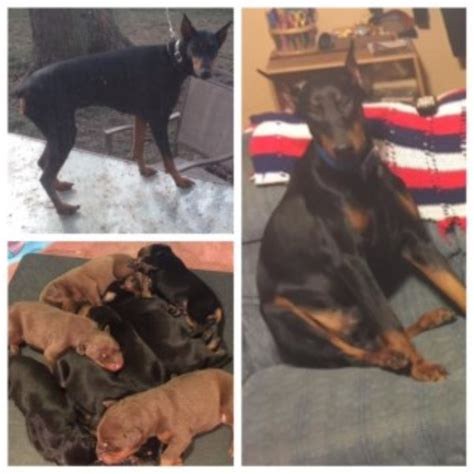doberman puppies illinois doberman pinscher puppies and dogs for sale and adoption in illinois freedoglistings
