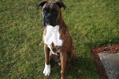 boxer for sale boxer for sale kilmarnock ayrshire pets4homes