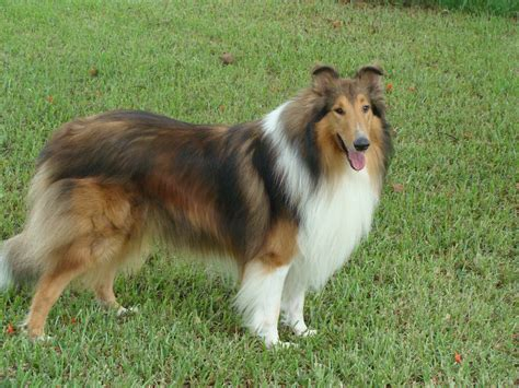 smooth collie puppies for sale collies for sale quizes