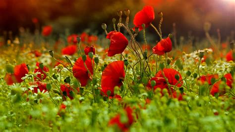 computer wallpaper poppies poppies wallpapers wallpaper cave