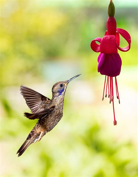 hummingbird feeds nectar hd picture 19 animal stock