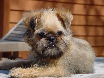 brussel griffon puppies brussels griffon puppies breeders griffons