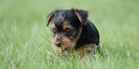 yorkie puppy information terrier information characteristics facts names