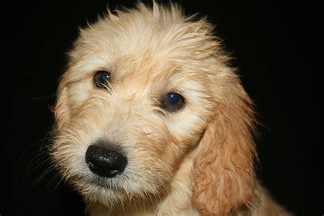 goldendoodle puppy arkansas stroodle s goldendoodles oklahoma arkansas