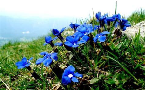 fiore di genziana genzianella fitoterapia fiore di genziana