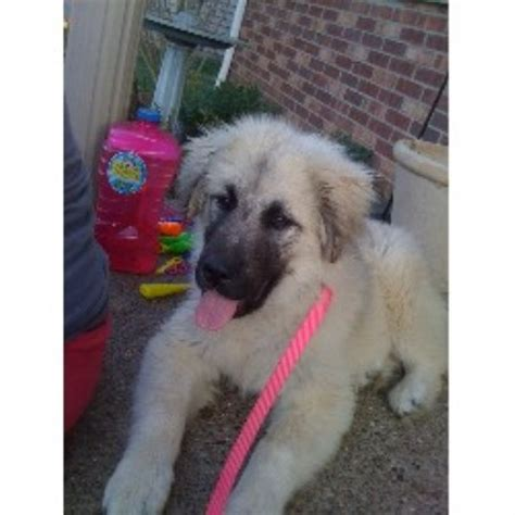 southern indiana poodle rescue sarplaninac breeders in indiana freedoglistings