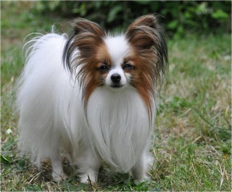 Do Papillons Shed by Papillon Breed Facts Pictures Puppies Grooming