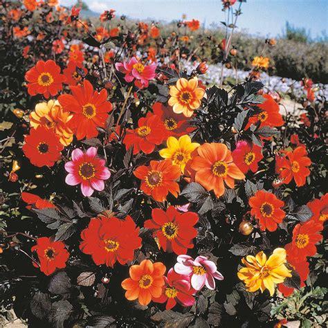Bunga Dahlia Bishops Children 1 dahlia bishops children flower seeds d t brown flower seeds