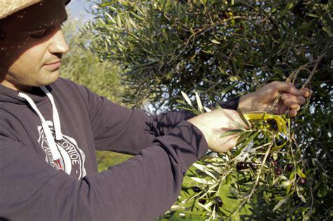 una vera esperienza rurale la raccolta delle olive