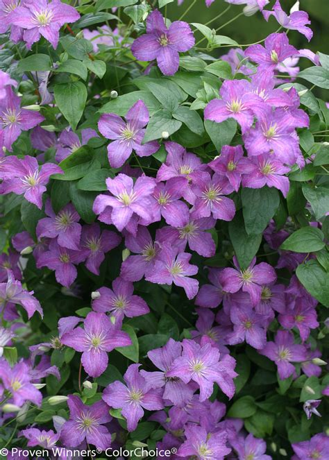 jolly good clematis sp proven winners