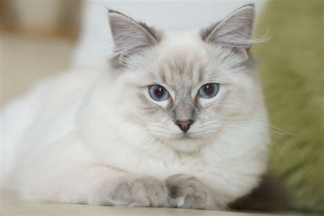 cat breed ragdoll cat breed information pet365