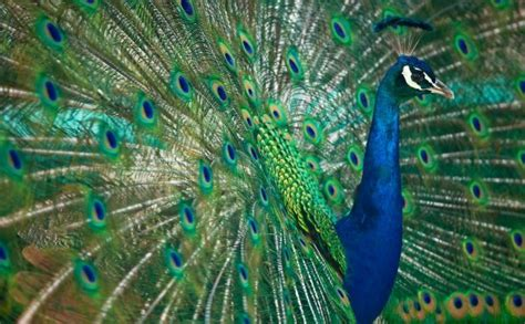 www miraculos de pavo real pavos reales animaleshoy