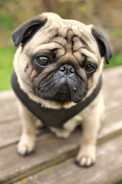 pug pi pugs www imgkid the image kid has it
