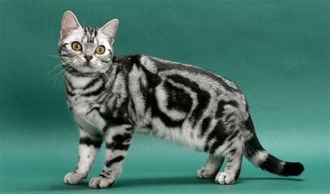 Sho Kucing House Of Anju best cat breed for house pets world