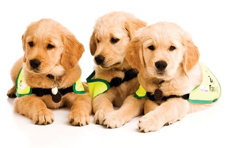 puppy in guide dogs for the blind at dun laoghaire east pier bandstand 12th july 2015