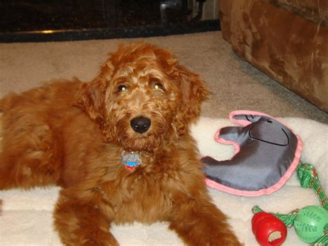 irish setter poodle mix irish doodle irish setter poodle mix facts temperament