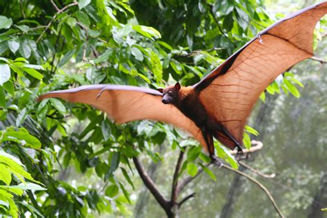 volpe volante malese do bats get confused by other bats sonar