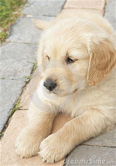 golden retriever puppies dublin 258 best golden retriever images on adorable animals golden retrievers