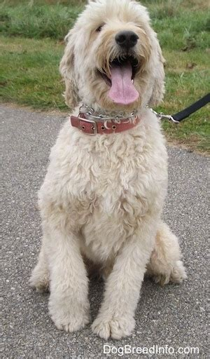goldendoodle vs golden retriever goldendoodle breed pictures 4