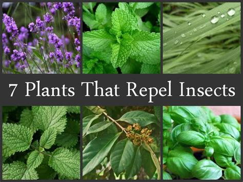 Repelling Mosquitoes Backyard 7 Plants That Repel Insects Gardens Plants And Gardening