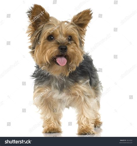 how to a yorkie to outside terrier sticking tongue out stock photo 3624352