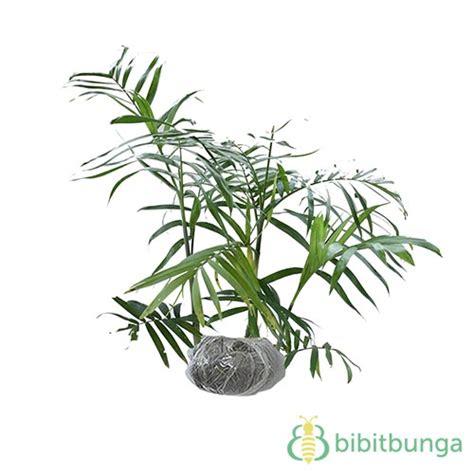 tanaman palem komodoria bibitbunga