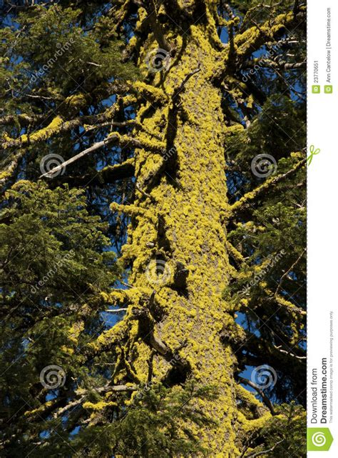 lichen covered tree trunk stock image image of branches