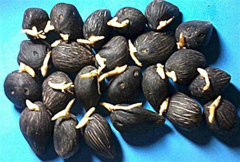 Benih Coklat cara mudah membuat bibit kelapa sawit bangpilot 1