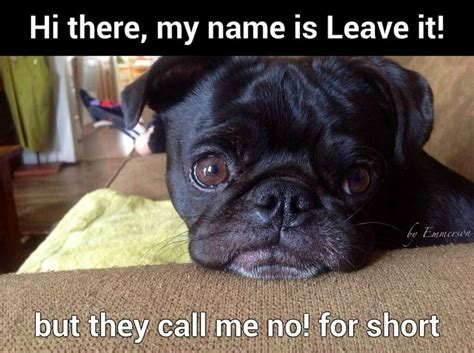 pug jokes pictures 393 best pug humor and cuteness images on doggies pugs and