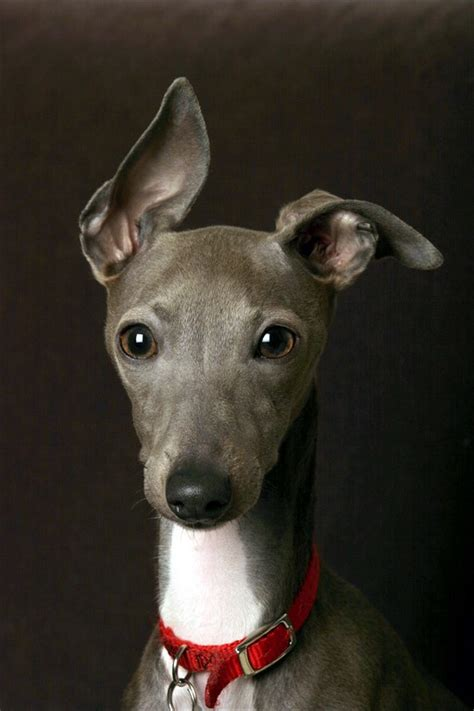 italian greyhound puppy italian greyhound breed standard breeds of small dogs best small breeds
