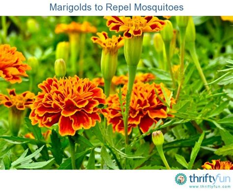 marigolds to repel mosquitoes thriftyfun