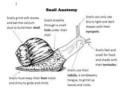 diagram of land snail snail diagram with labelling search grade