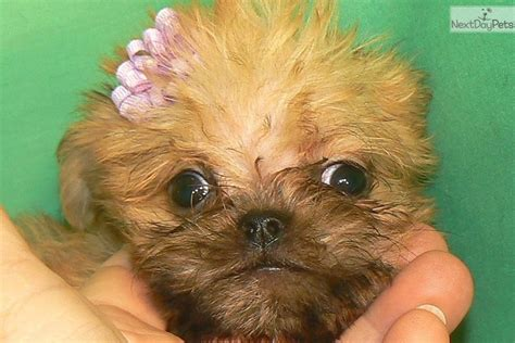 teacup brussels griffon puppies for sale sprout brussels griffon puppy for sale near arizona 8fcb3cf6 7a71