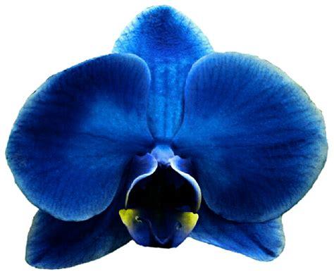 blue orchid eletragesi blue orchid clipart images