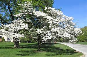 good things by david blooming dogwood trees