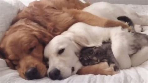 two dogs and a cat snuggling is real with two dogs and one cat