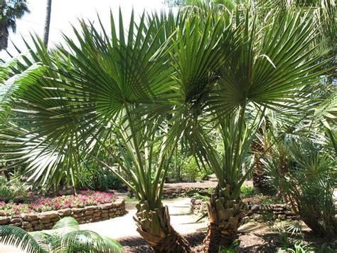 palme da terrazzo palma nana piante da giardino palma nana