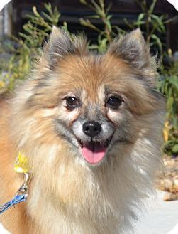 arizona pomeranian rescue pomeranian for adoption in chandler arizona moxie