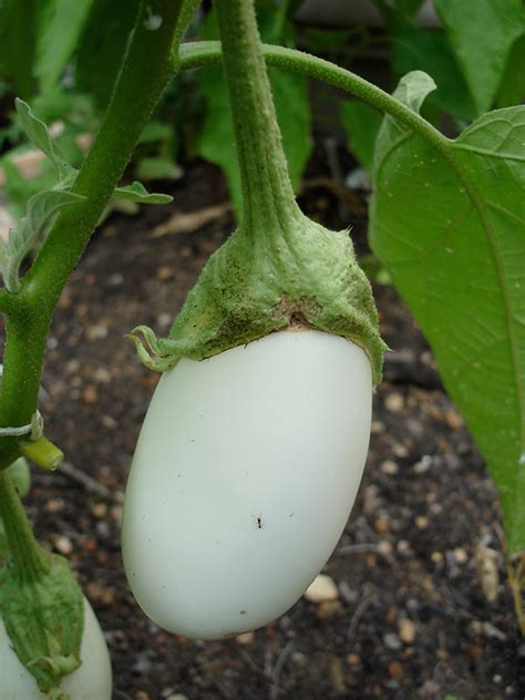 what type of fruit is garden egg growing eggplant bonnie plants