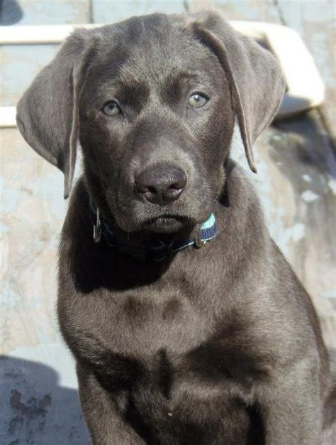 charcoal lab puppies 25 best ideas about charcoal lab on silver labs silver labrador and lab pups